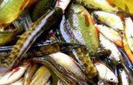 দেশের ৬৪ প্রজাতির মাছ হুমকির মধ্যে