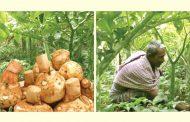 ওল কচু রপ্তানিতে হাজার কোটি টাকার স্বপ্ন