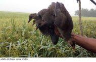 দাকোপে অতিথি পাখি নিধনে মেতেছে শিকারীরা