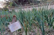 খুবির গবেষণায় সাফল্য: মাটি ও সার ব্যবস্থাপনার মাধ্যমে দেশী পেঁয়াজের উৎপাদন দ্বিগুণ করা সম্ভব