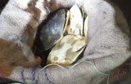 মোংলায় ৭৩টি সুন্ধি কচ্ছপ জব্দ, আটক ব্যক্তির মাত্র দুই হাজার টাকা জরিমানা