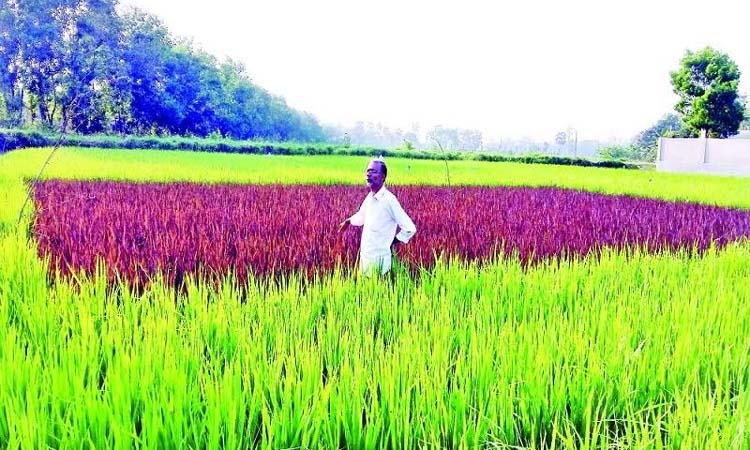 ব্ল্যাক রাইস চাষে অভাবনীয় সাফল্য পেলেন কুমিল্লার কৃষক মনজুর