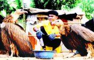 জীববৈচিত্র্যের উপকারী পাখি শকুন বিলুপ্ত হয়ে যাচ্ছে