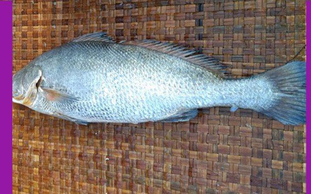 সাড়ে ১৩ কেজির ভোল মাছ বিক্রি হলো এক লাখ ৮ হাজার টাকায়